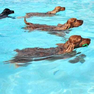 Pet friendly swimming pools for your family thursday pools for How to train your dog to swim in the pool